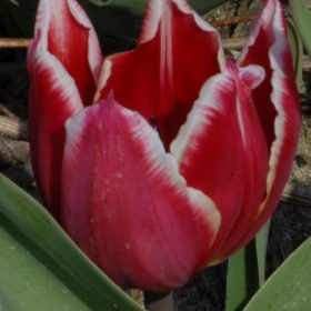 Tulip Duc van Tol Red and White