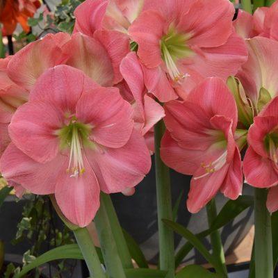 Hippeastrums (Amaryllis) Pink Princess