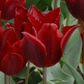 Tulip Historical Koh-i-Nor