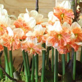 Daffodil Division 11 Split Corona Shrike