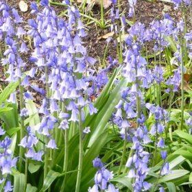 Hyacinthoides non-scripta-bluebell