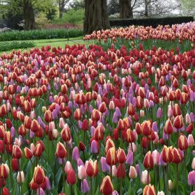 Tulip Super Mixture