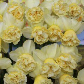 Daffodil Division 4 Double Daffodils Art Design