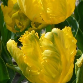 Tulip Parrot Texas Gold