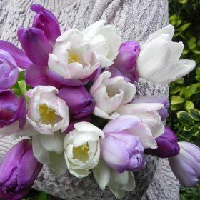 Tulip Purple Blend 30 bulbs